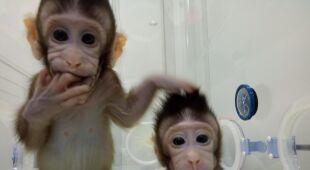 Dwie sklonowane małpy