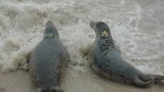 Wypuścili cztery foki do Bałtyku (Paweł Średziński/WWF Polska)