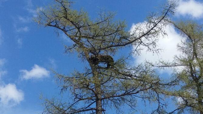 Niecodzienny widok pod Tatrami. Niedźwiedzica z młodymi na czubku drzewa